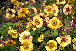 Tequila Sunrise Avens (Geum 'Tequila Sunrise') at Valley View Farms