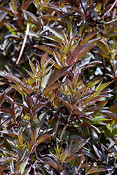 Black Beauty® Elder (Sambucus nigra 'Gerda') at Valley View Farms