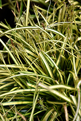 EverColor® Eversheen Japanese Sedge (Carex oshimensis 'Eversheen') at Valley View Farms