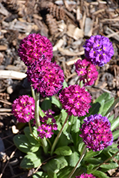 Drumstick Primrose (Primula denticulata) at Valley View Farms