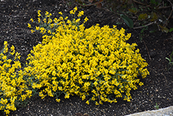 Bangle® Dyers Greenwood (Genista lydia 'Select') at Valley View Farms