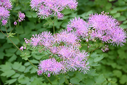 Meadow Rue (Thalictrum aquilegifolium) at Valley View Farms