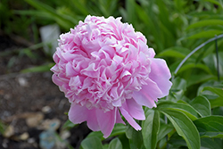 Sarah Bernhardt Peony (Paeonia 'Sarah Bernhardt') at Valley View Farms