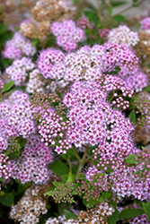 Little Princess Spirea (Spiraea japonica 'Little Princess') at Valley View Farms