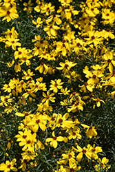 Imperial Sun® Tickseed (Coreopsis 'Imperial Sun') at Valley View Farms