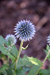 Taplow Blue Globe Thistle (Echinops bannaticus 'Taplow Blue') at Valley View Farms