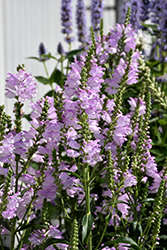 Pink Manners Obedient Plant (Physostegia virginiana 'Pink Manners') at Valley View Farms