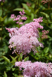 Queen Of The Prairie (Filipendula rubra) at Valley View Farms
