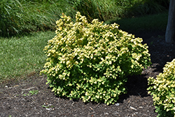 Glow Girl® Birch Leaf Spirea (Spiraea betulifolia 'Tor Gold') at Valley View Farms
