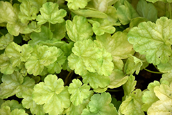 Dolce® Appletini Coral Bells (Heuchera 'Appletini') at Valley View Farms