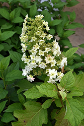 Gatsby Star® Hydrangea (Hydrangea quercifolia 'Doughill') at Valley View Farms