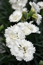 Early Bird™ Frosty Pinks (Dianthus 'Wp10 Ven06') at Valley View Farms