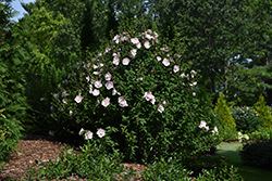 Pink Chiffon® Rose of Sharon (Hibiscus syriacus 'JWNWOOD4') at Valley View Farms