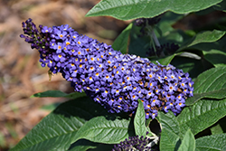 Pugster® Blue Butterfly Bush (Buddleia 'SMNBDBT') at Valley View Farms