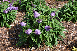 Pugster® Lavender Butterfly Bush (Buddleia 'Pugster Lavender') at Valley View Farms