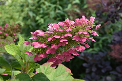 Gatsby Gal® Hydrangea (Hydrangea quercifolia 'Brenhill') at Valley View Farms