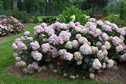 Incrediball® Blush Smooth Hydrangea (Hydrangea arborescens 'NCHA4') at Valley View Farms