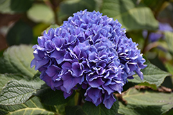 Let's Dance® Rhythmic Blue™ Hydrangea (Hydrangea macrophylla 'SMHMES14') at Valley View Farms