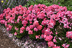 Garden Girls™ Glamour Girl Garden Phlox (Phlox paniculata 'Glamour Girl') at Valley View Farms