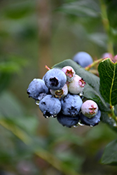 Chippewa Blueberry (Vaccinium 'Chippewa') at Valley View Farms
