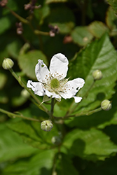 Baby Cakes™ Blackberry (Rubus 'APF-236T') at Valley View Farms