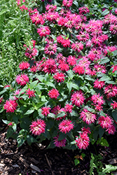 Balmy Rose Beebalm (Monarda didyma 'Balbalmose') at Valley View Farms