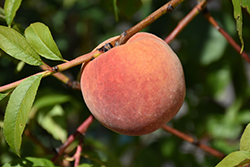 Redhaven Peach (Prunus persica 'Redhaven') at Valley View Farms