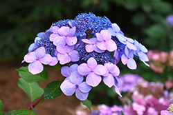 Twist-n-Shout® Hydrangea (Hydrangea macrophylla 'PIIHM-I') at Valley View Farms