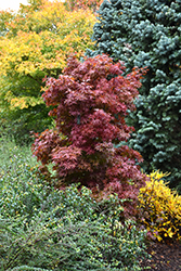 Twombly's Red Sentinel Japanese Maple (Acer palmatum 'Twombly's Red Sentinel') at Valley View Farms