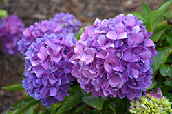Let's Dance® Rave® Hydrangea (Hydrangea macrophylla 'SMNHMSIGMA') at Valley View Farms
