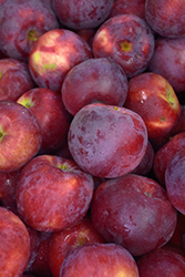 Empire Apple (Malus 'Empire') at Valley View Farms