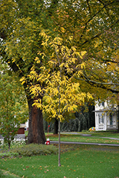 Street Keeper Honeylocust (Gleditsia triacanthos 'Draves') at Valley View Farms