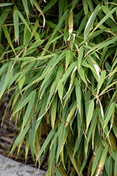 Scabrida Bamboo (Fargesia scabrida) at Valley View Farms