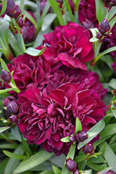 Sunflor® Beetle Carnation (Dianthus caryophyllus 'HILBEETL') at Valley View Farms