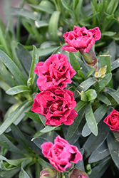 Oscar® Cherry and Velvet Carnation (Dianthus caryophyllus 'KLEDP07089') at Valley View Farms