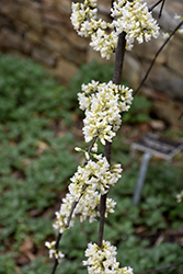 Vanilla Twist® Weeping Redbud (Cercis canadensis 'Vanilla Twist') at Valley View Farms