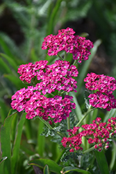 Ritzy Rose Yarrow (Achillea millefolium 'ACBZ0003') at Valley View Farms