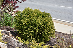 Dwarf Globe Japanese Cedar (Cryptomeria japonica 'Globosa Nana') at Valley View Farms