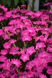Kahori® Pink Pinks (Dianthus 'Kahori Pink') at Valley View Farms