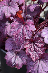 Electric Plum Coral Bells (Heuchera 'Electric Plum') at Valley View Farms