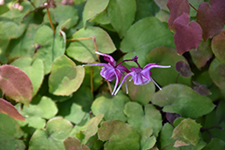 Purple Pixie Bishop's Hat (Epimedium grandiflorum 'Purple Pixie') at Valley View Farms