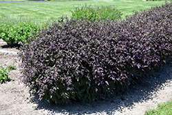 Serious Black™ Ground Clematis (Clematis recta 'Lime Close') at Valley View Farms