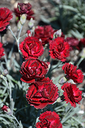 Pretty Poppers™ Electric Red Pinks (Dianthus 'Electric Red') at Valley View Farms