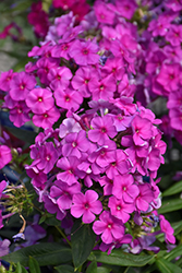 Purple Flame Garden Phlox (Phlox paniculata 'Purple Flame') at Valley View Farms