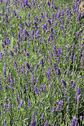 Big Time Blue Lavender (Lavandula angustifolia 'Armtipp01') at Valley View Farms