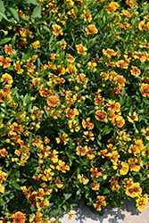 Salud™ Embers Sneezeweed (Helenium autumnale 'Balsaluemb') at Valley View Farms