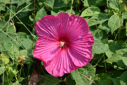 Luna™ Rose Hibiscus (Hibiscus moscheutos 'Luna Rose') at Valley View Farms