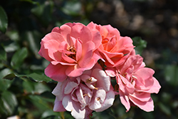 Coral Knock Out® Rose (Rosa 'Coral Knock Out') at Valley View Farms