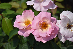 Peachy Knock Out® Rose (Rosa 'Peachy Knock Out') at Valley View Farms
