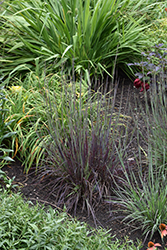 Smoke Signal Little Bluestem (Schizachyrium scoparium 'Smoke Signal') at Valley View Farms
